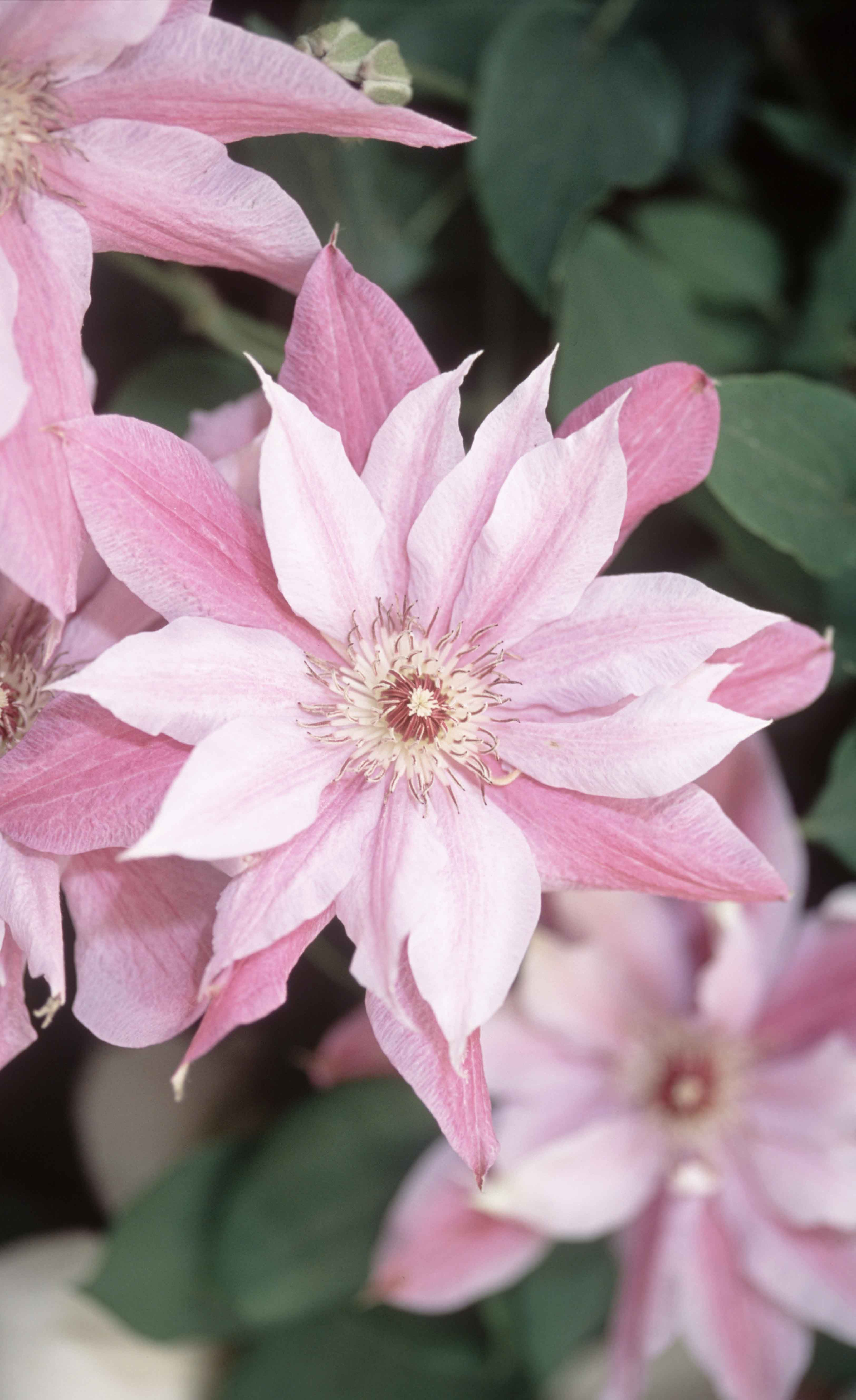 Clematis Love Jewelry mauve flowers with dark pink bars from late
