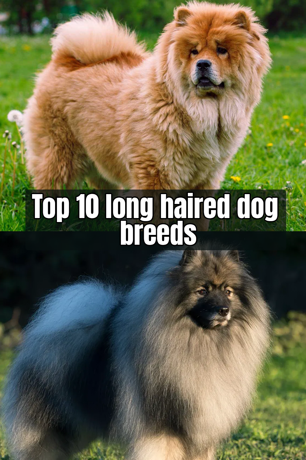 10 Best Fluffy Dog Breeds Dog Breeds Long Haired Dog Breeds