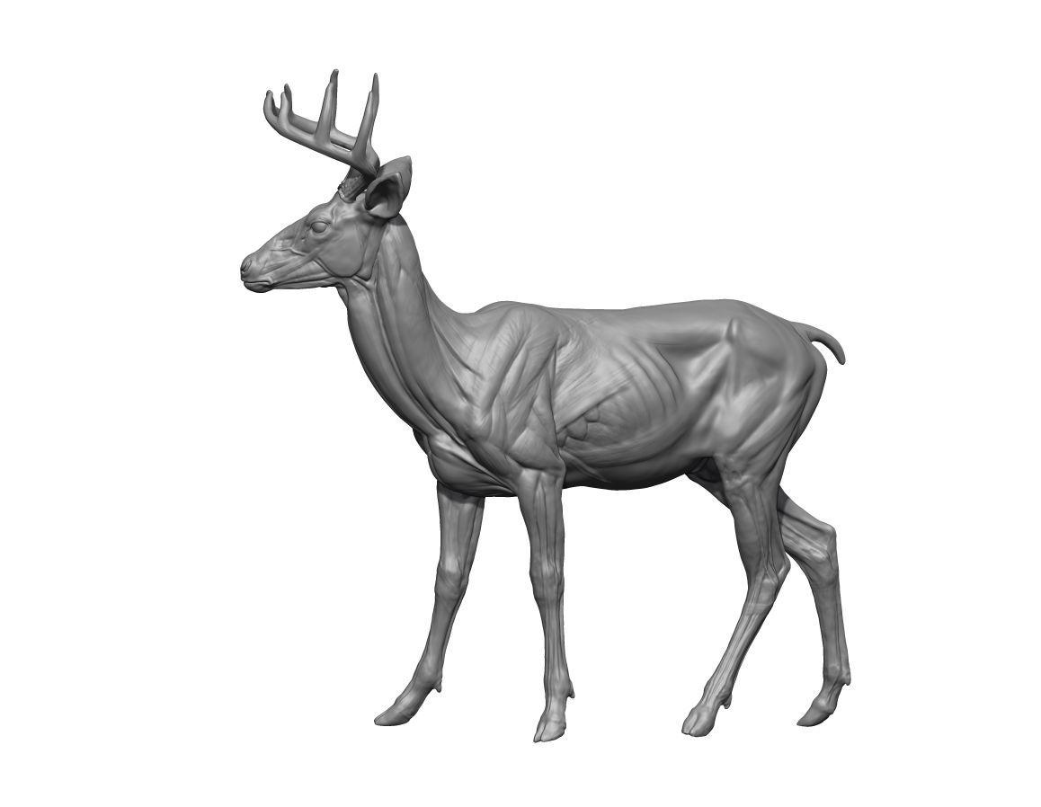 deer skeleton anatomy diagram ford 3000 ignition switch wiring render4 jpg animals pinterest models