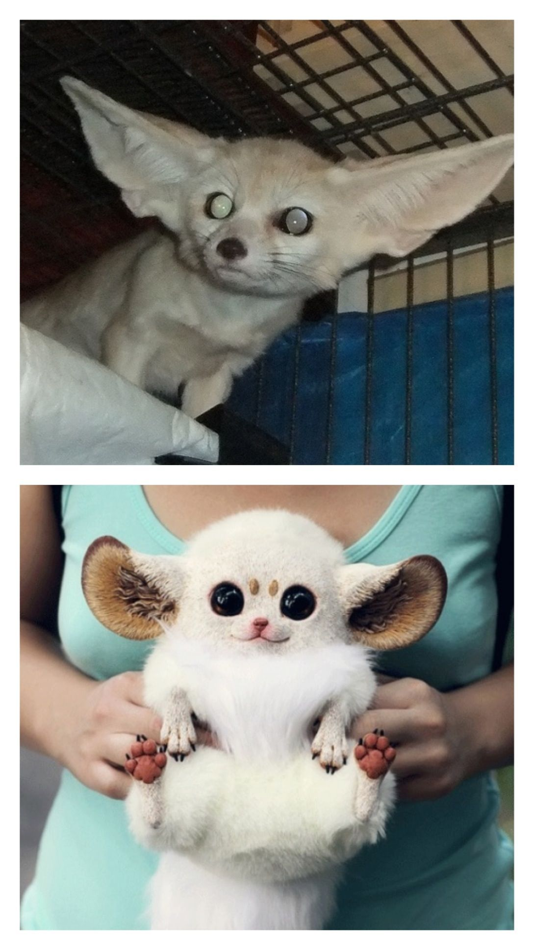 Baby inari fox for sale - Top real inari fox fabulous by the way bottom fake