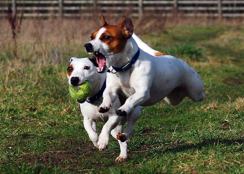 Jack Russell Terriers Eddi & Lola