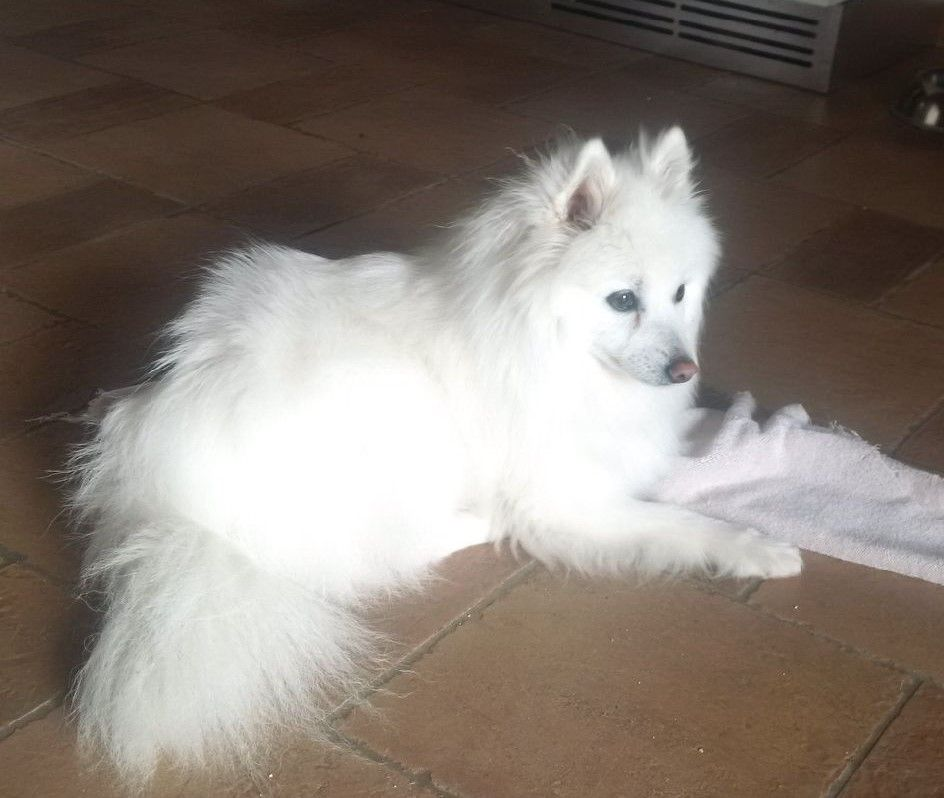 Toy American Eskimo Puppies For Sale Ontario References