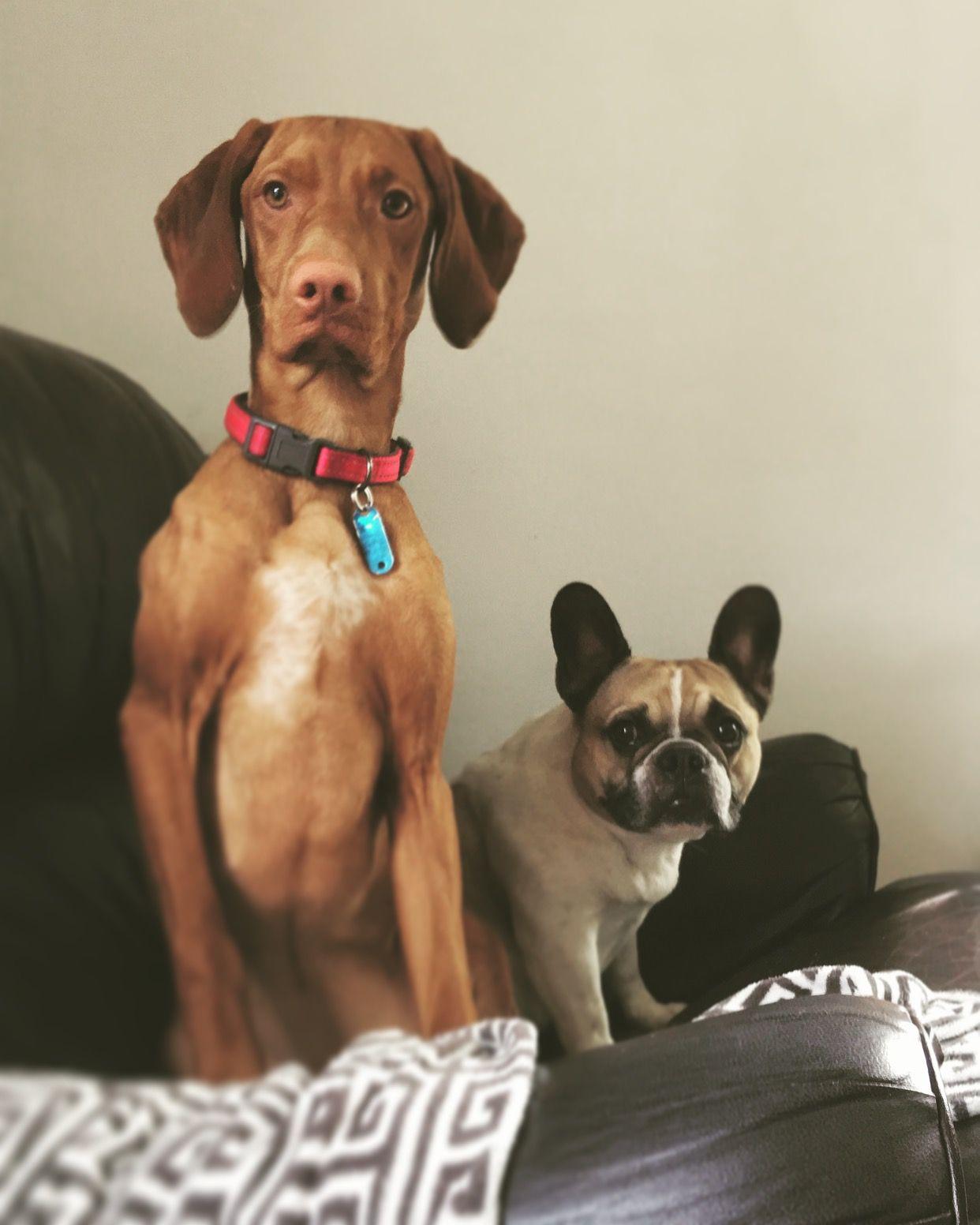 Vizsla Puppy Frenchie French Bulldog Vizsla Puppies Puppies Dogs