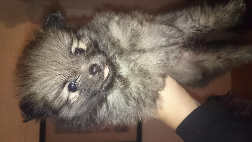 Pomeranian Puppies For Sale United Kingdom Gumtree Pomeranian Puppy Pomeranian Puppy For Sale Puppies
