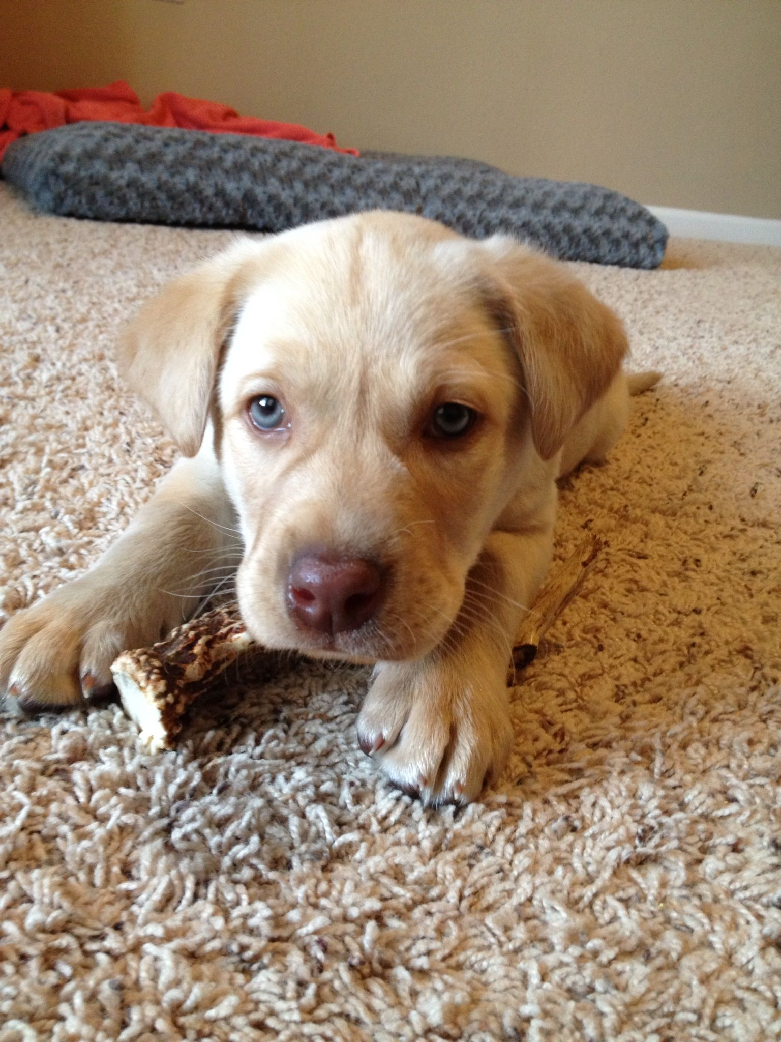 My Yellow Lab Puppy With Blue Eyes Puppies Pitbull Puppy Labrador