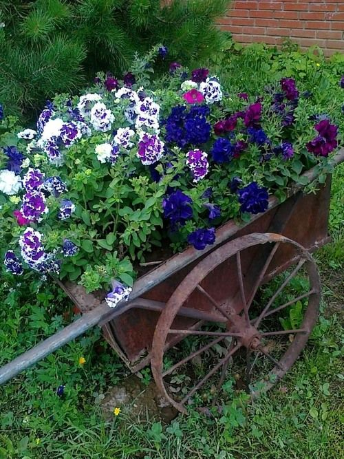 Gardens: Petunias in an old wheelbarrow, for the #garden.