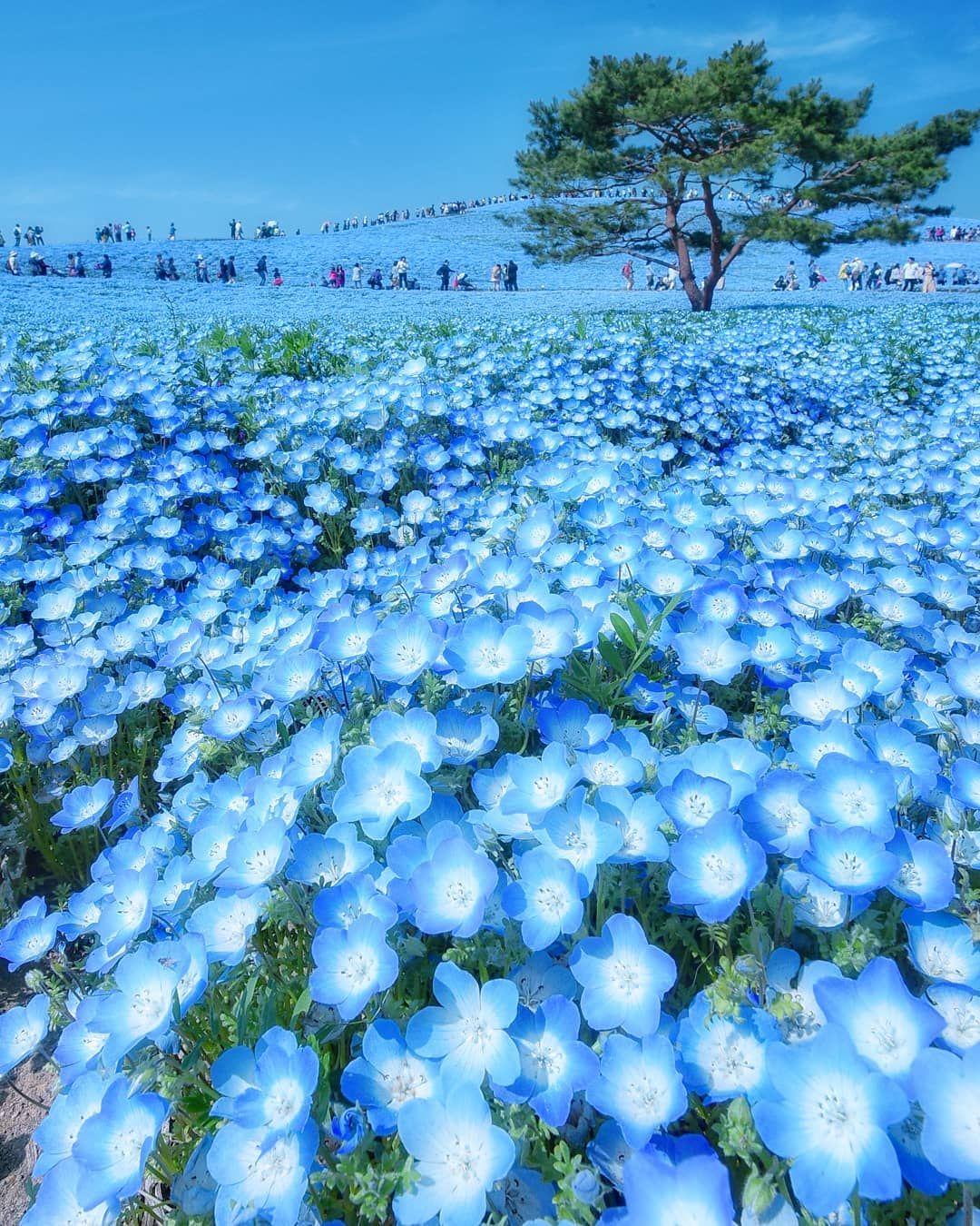 Baby Blue Eyes Flower Japan