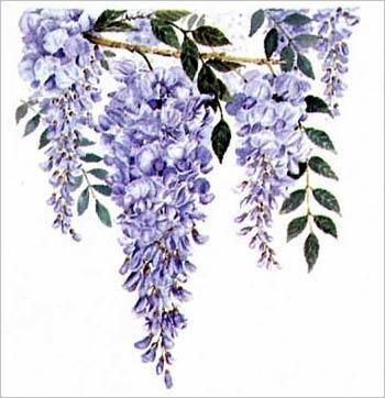 Wisteria Botanical Art At 10 Inches By 10 This Art Print Will Look Great On Almost Any Wall Wisteria Vine Drawing Flower Art