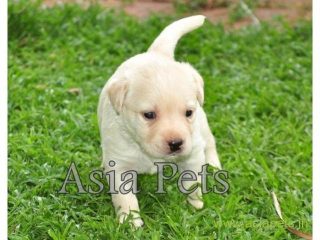 Labrador Pups Price In Gurgaon Labrador Pups For Sale In Gurgaon Labrador Puppies For Sale Puppies For Sale Labrador
