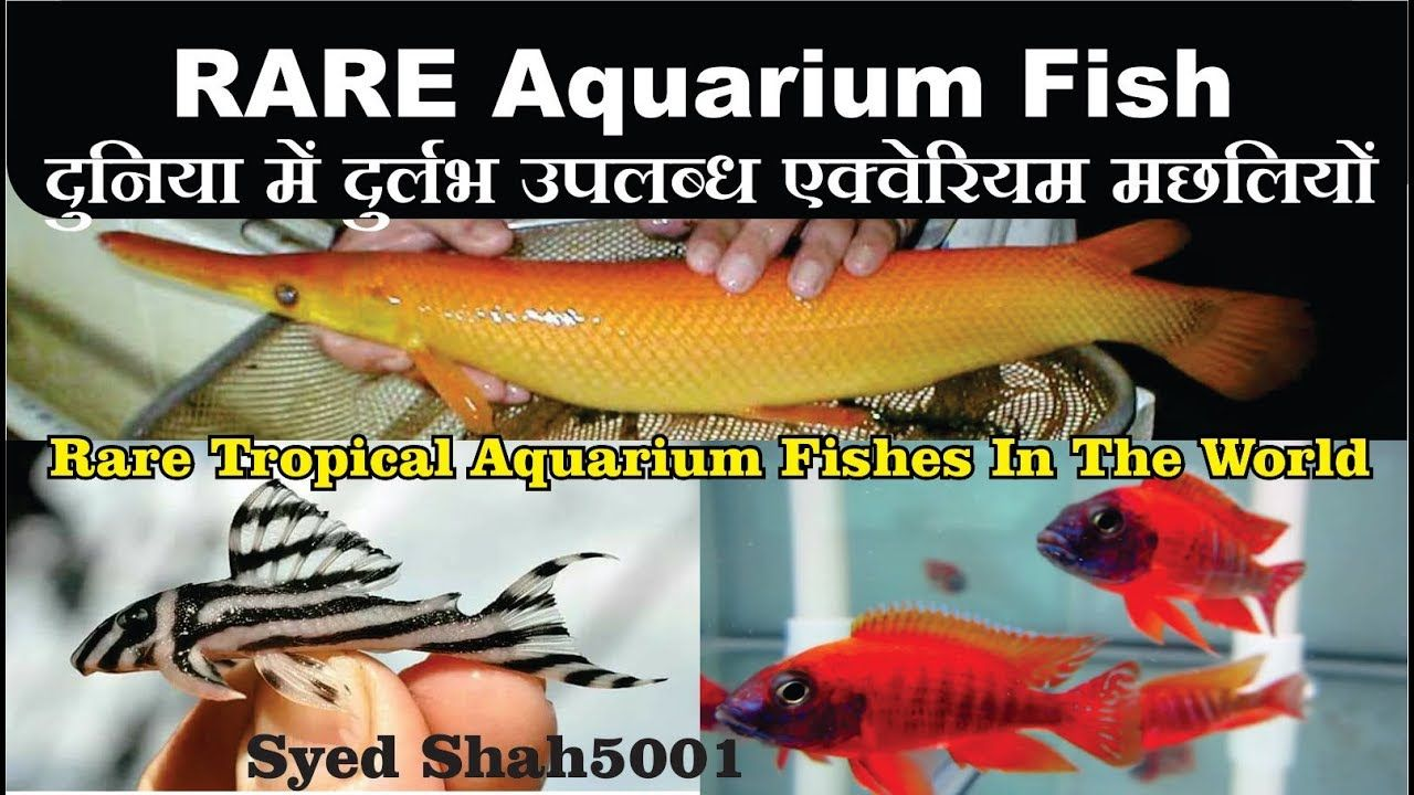Rearest And Most Expensive Aquarium Fish Breeds In The World Rare