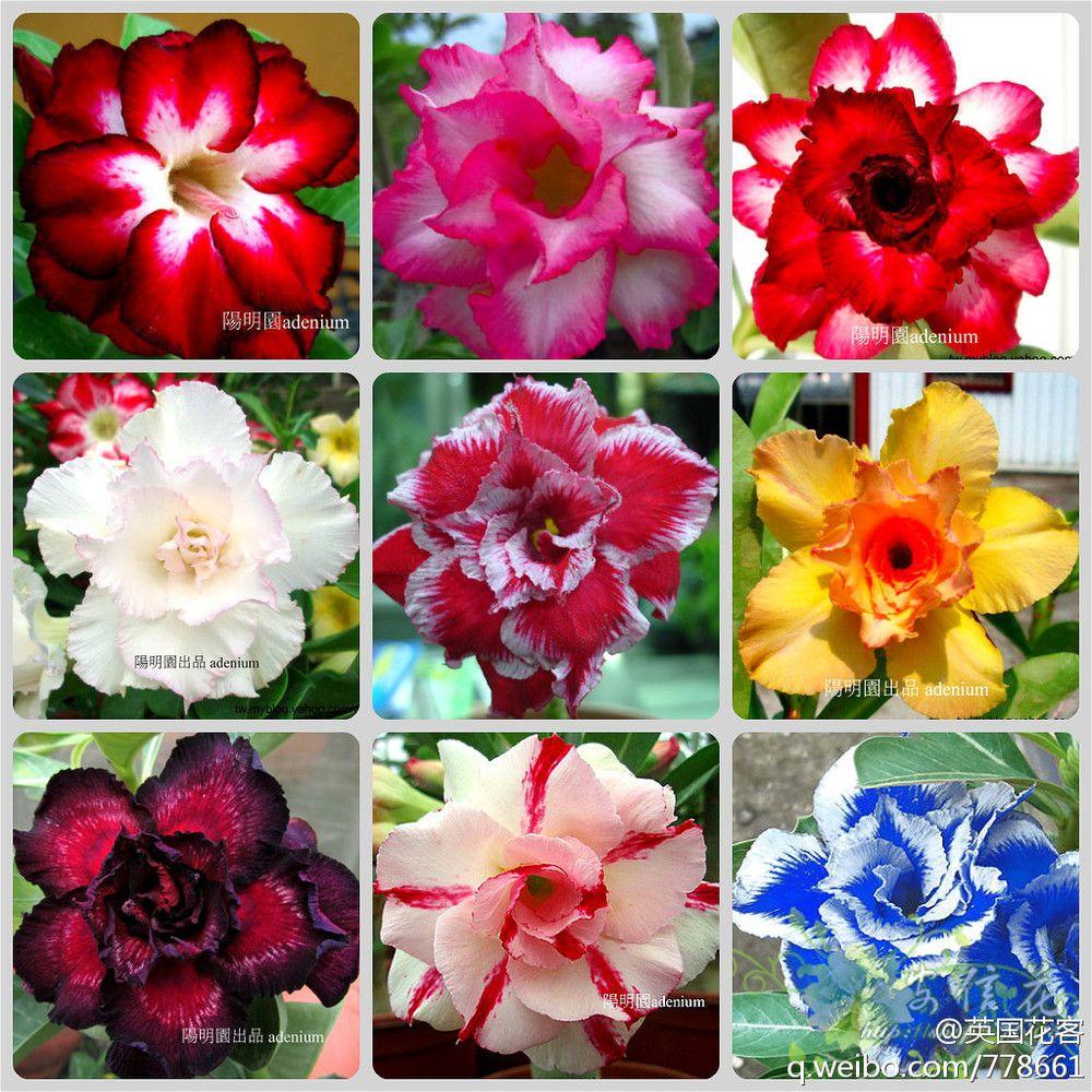Desert Rose Bonsai Flowers 1 PCS Seeds Rainbow Ornamental Plants Adenium Obesum