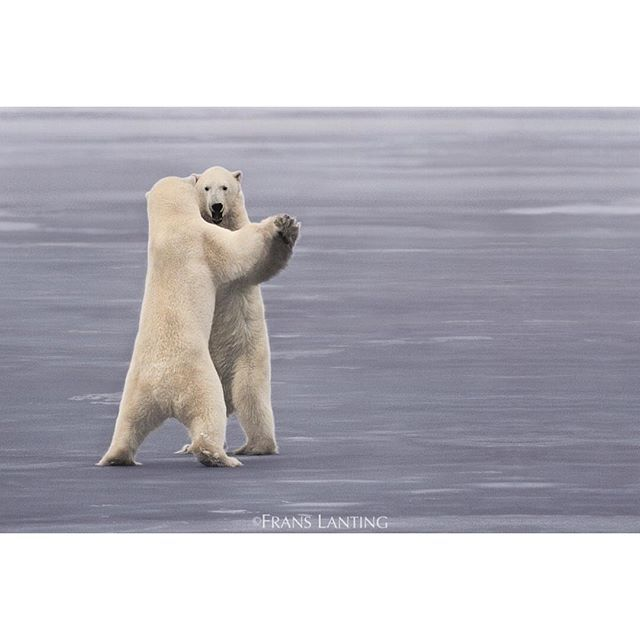 "Dance like nobody is watching :-) Photo by @FransLanting ""Dancing Bears?"" #funny #inspiration"