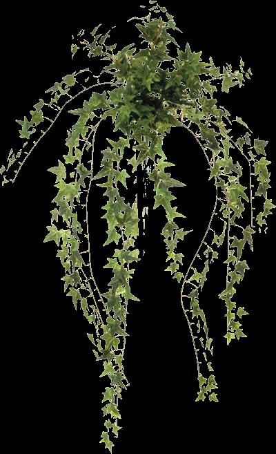 Enredaderas Ivy Para Decorar Muros Y Paredes Enredaderas Muros Plantas