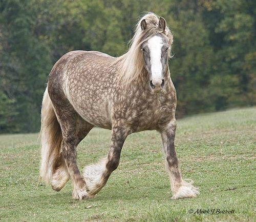 villa vanner s sinead a gypsy horse displays the chocolate dapple