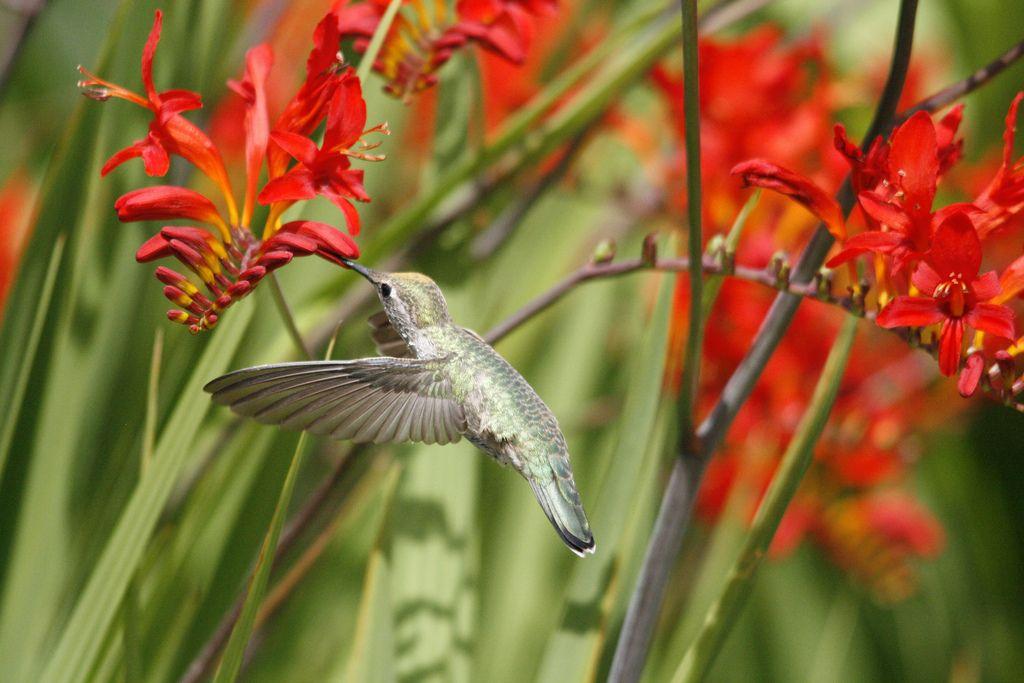 Feeding Anna's Hummingbird by dt8thd