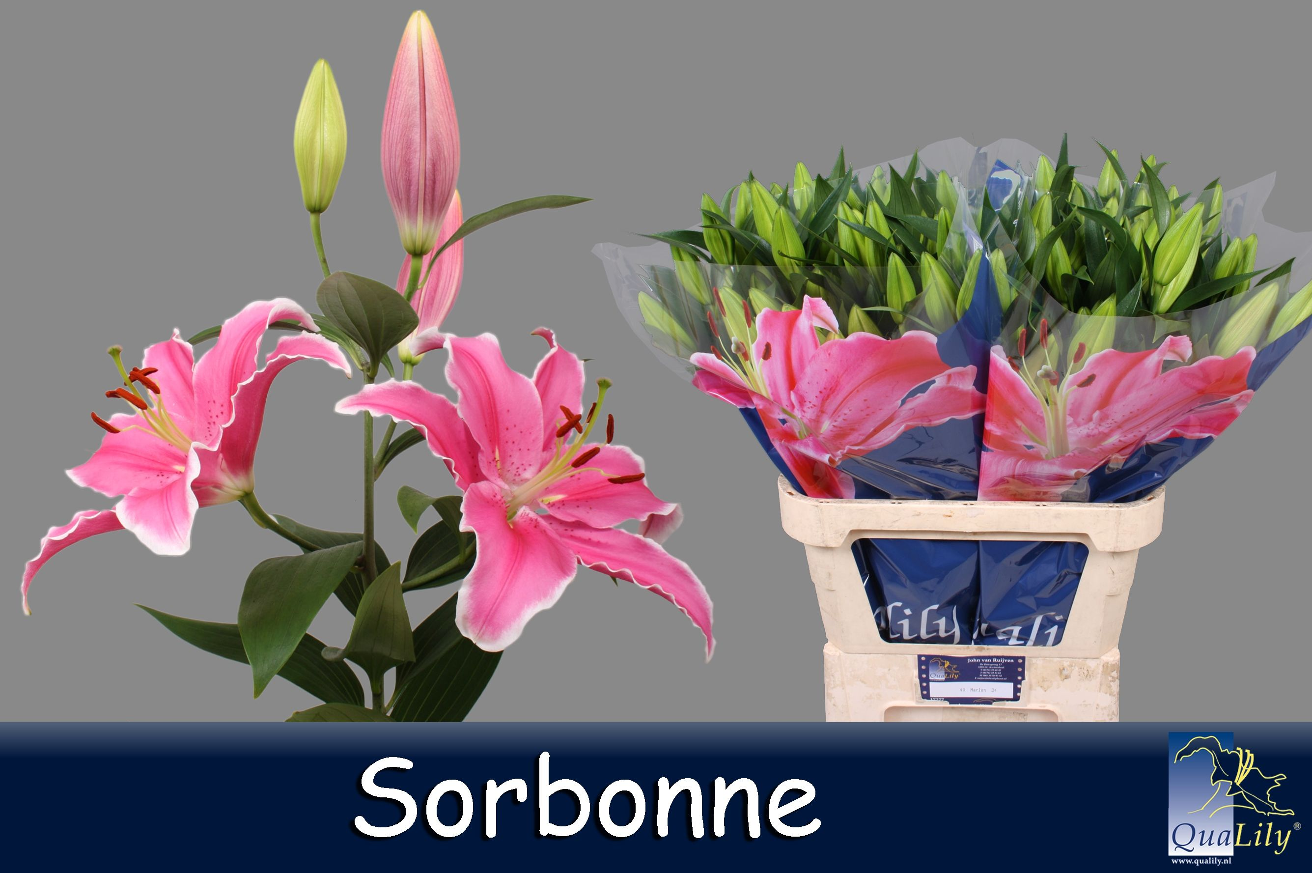 Qualily lelie roze photos of our lilys we use on the qualily lelie roze izmirmasajfo