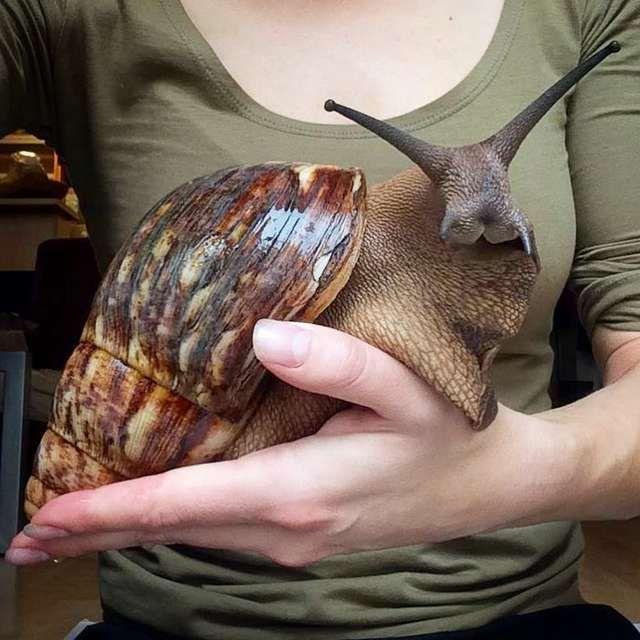 giant snail florida