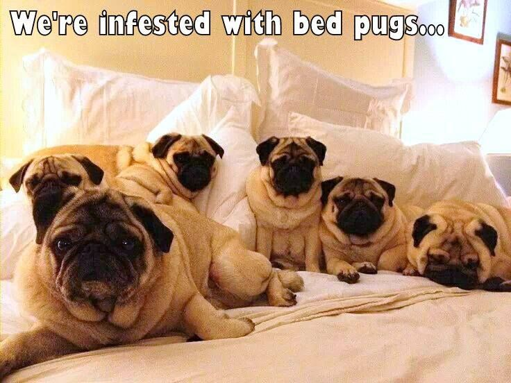Infected With Bed Pugs With Images Pug Memes Pugs Pugs Funny