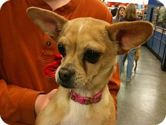 Pin By Daryn Potter On Orfink Pups Chihuahua Corgi Mix