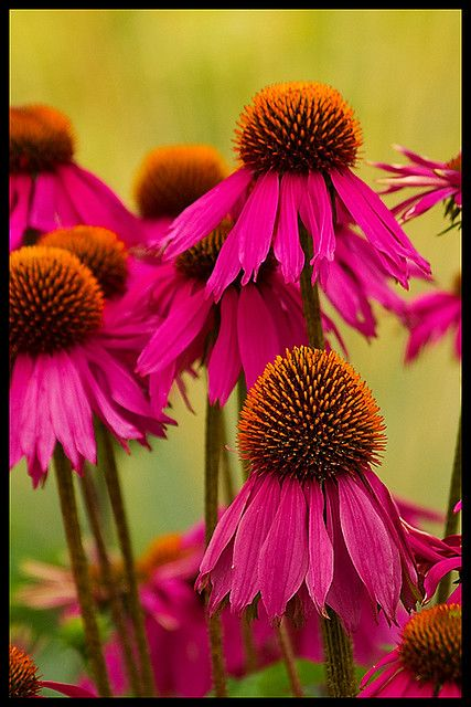 Purple Coneflowers Rare Flowers Garden Plant Pots Flowers