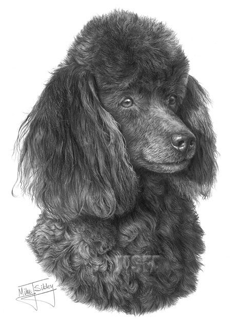 4b2412f978b3 Miniature Poodle print from graphite pencil drawing by Mike Sibley. Find  this Pin and more on Dog art ...