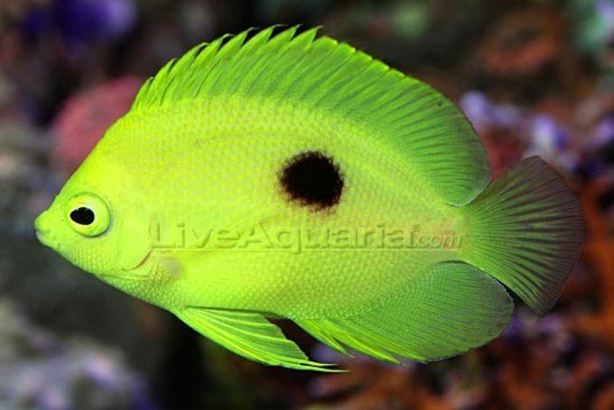 Liveaquaria Sells 5000 Narcosis Angelfish Almost Immediately Angel Fish Marine Fish Cool Fish