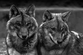 Loups d'Arabie