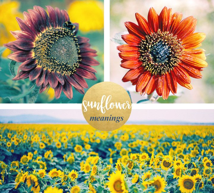 Sunflower Meaning and Symbolism Sunflower colors