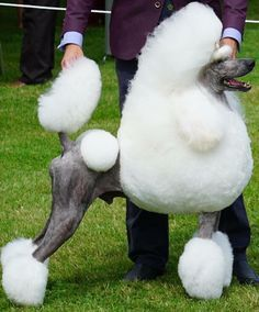Picardy Best In Show Winners Standard Poodle Pinterest