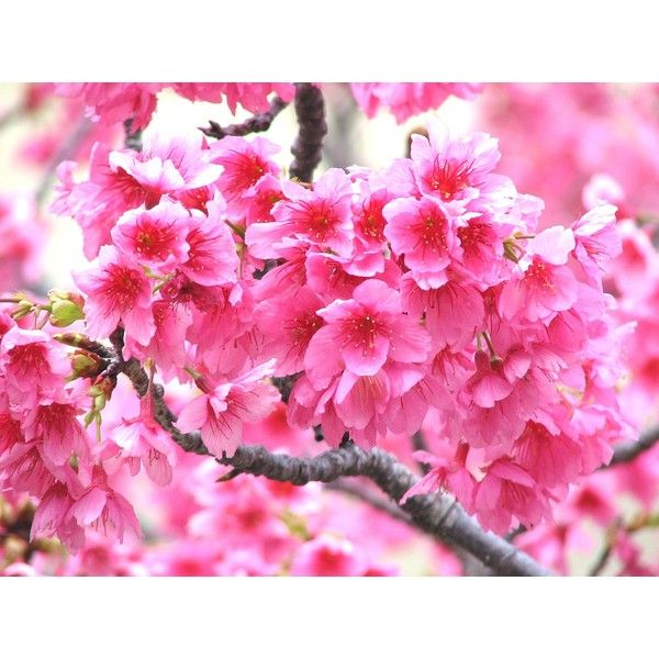 ❤ liked on Polyvore featuring backgrounds, flowers, pictures and sliki