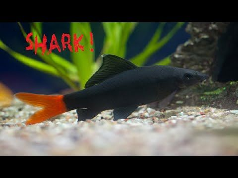 My New Pet Fish I Have Silver Sharks Redtail Black Shark And Catfish Youtube Pet Fish Fish Freshwater Aquarium Fish