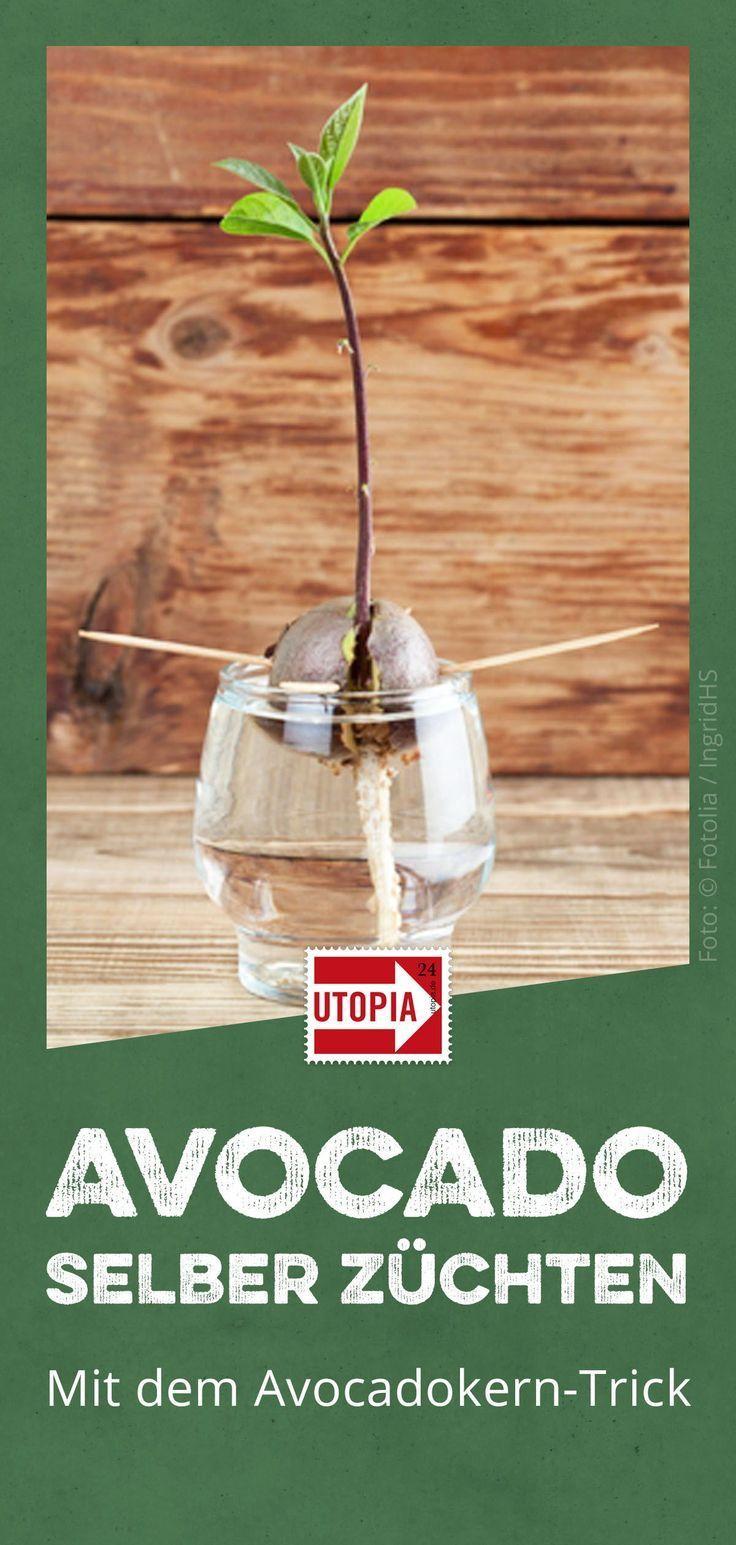 Avocado-Topf-Tricks: Es ist so einfach, eine eigene Pflanze zu züchten,  #AvocadoTopfTricks #…