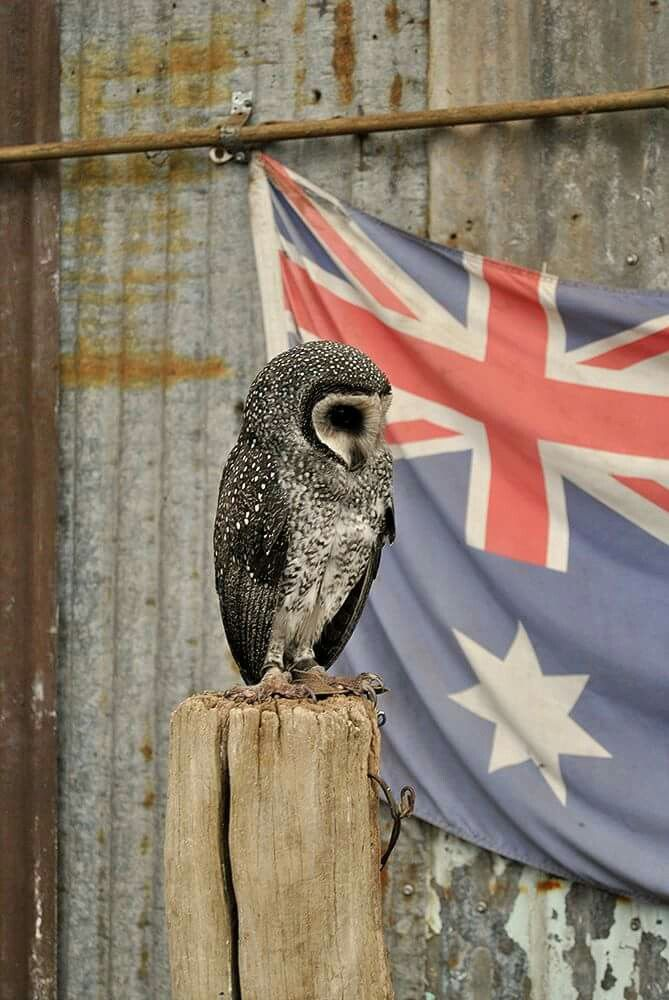 Aussie owl Owl Collection Pinterest - release notes template