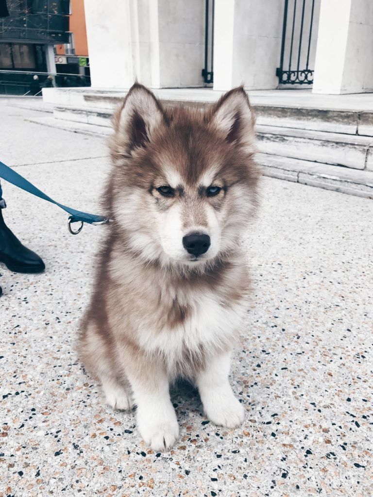 5 Facts Uber Den Sibirischen Husky Teddy The Pawsome Tyroleans Sibirischer Husky Husky Welpen Husky Hund