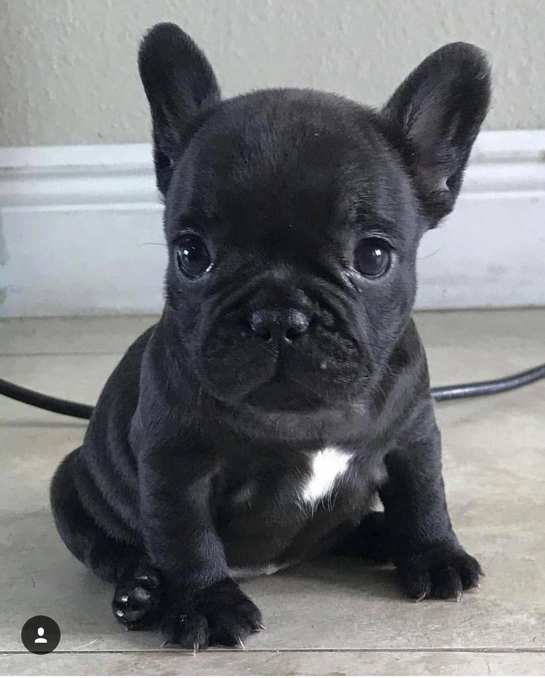 French Bulldog Facts French Bulldog Puppies Cute Baby Animals