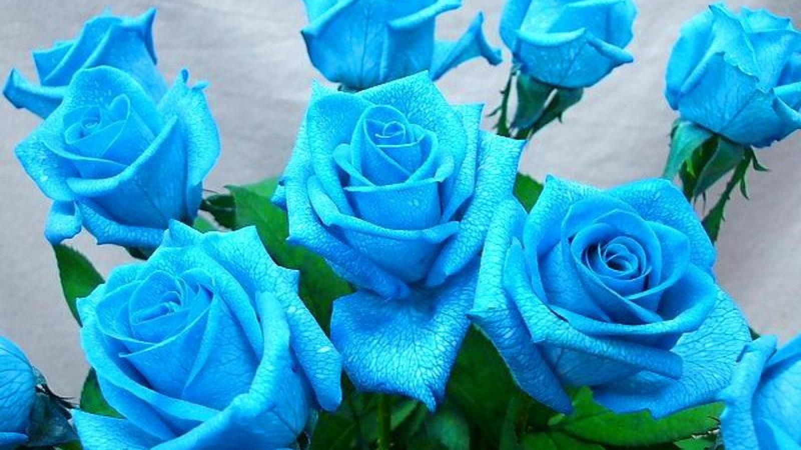blue roses wallpaper | 1600x900 | #66285 | roses | pinterest | rose