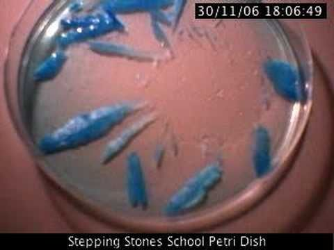 Growing Copper Sulphate crystals