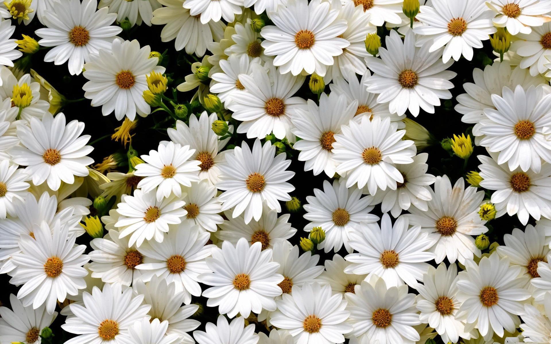 Daisy Flowers Tumblr Wallpaper Wide J7e Flower Desktop Hd