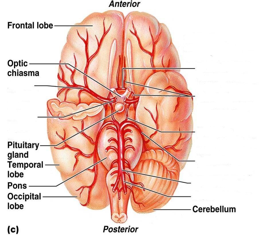 Brain Blood Vessel Diagram Unlabeled - Explore Schematic Wiring ...