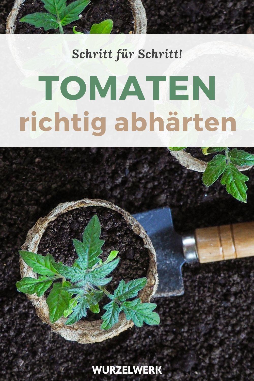 Die Beste Art Tomaten Zu Pflanzen Im Freiland Gewachshaus Wurzelwerk In 2020 Tomaten Pflanzen Tomatenpflanzen Gewachshaus Pflanzen