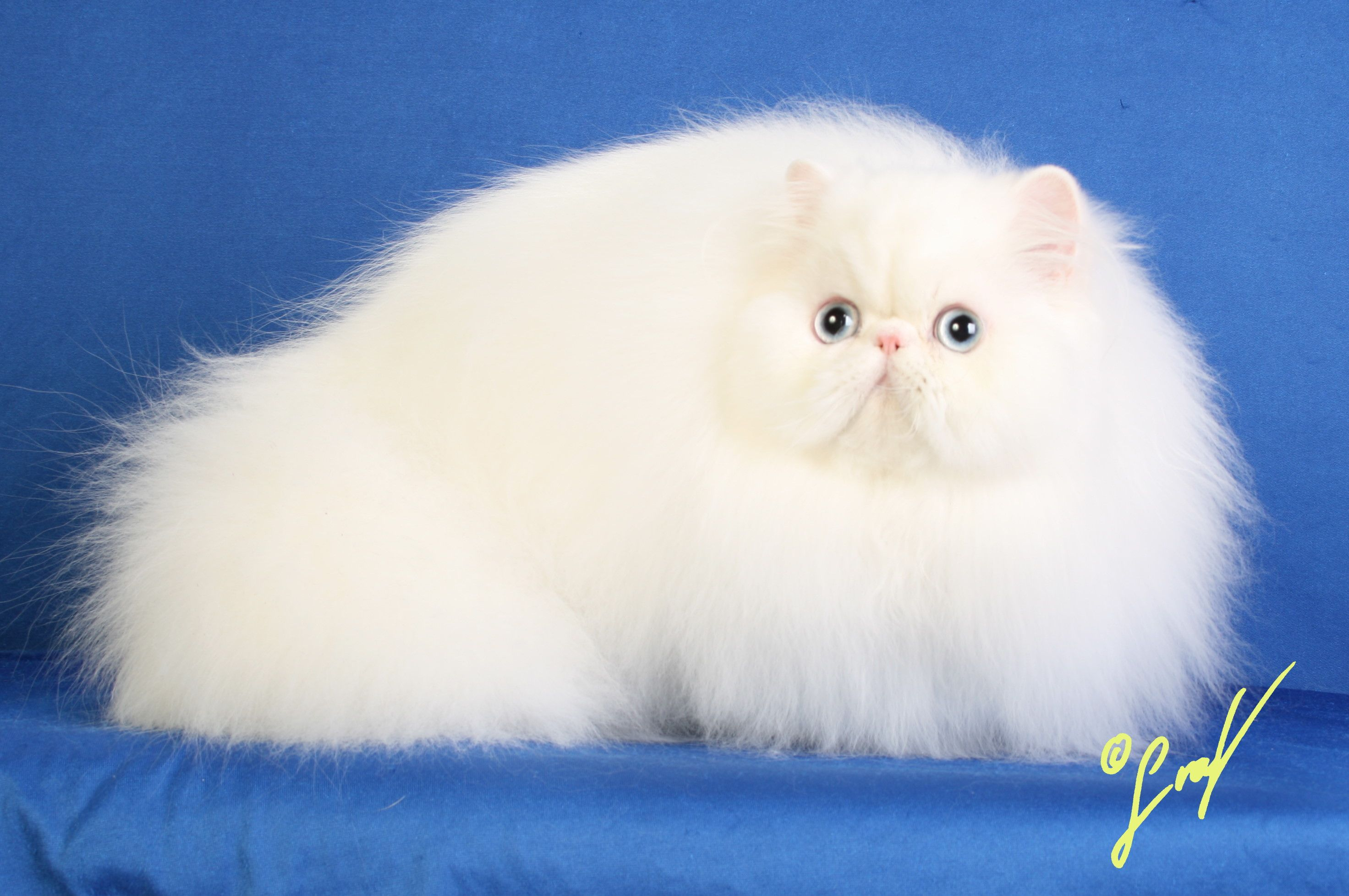 Cute White Persian Cat With Blue Eyes Pictures Jpg 2944 1956