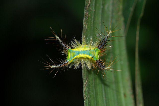 Slug caterpillar by ggallice, via Flickr