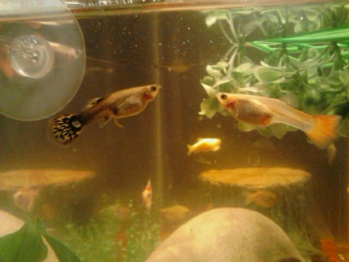 My Two Female Guppies Going Into Labor At The Same Time Awww Guppy Fish Guppy Fish Pet