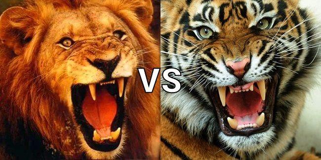 Image Result For Lion Vs Tiger Tiger Pictures Animals