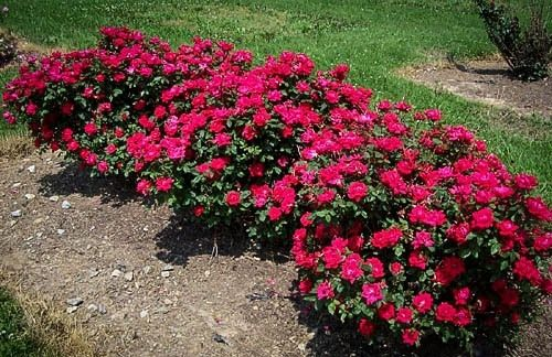Double Knockout Roses The Most Popular Rose Knockout Roses Double Knockout Roses Dwarf Shrubs