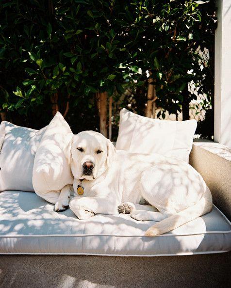 Animal Photos Animals Beautiful Dogs White Labrador