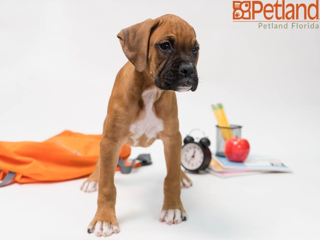 Puppies For Sale With Images Boxer Puppies Puppy Friends Boxer Puppies For Sale