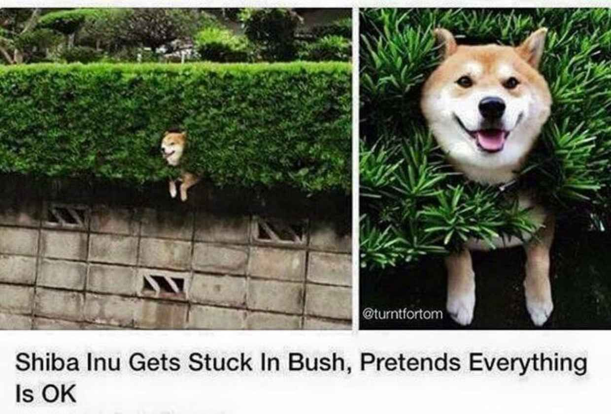 21 Perfect Responses To The Question How S Life Shiba Inu Happy Dogs Poor Dog