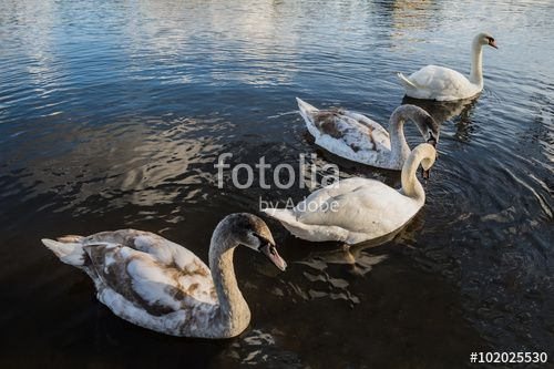Enamoured swans floating in a pond