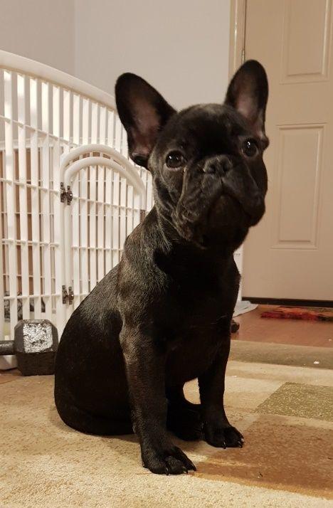 French Bulldog puppy for sale in PORTLAND, OR. ADN59740